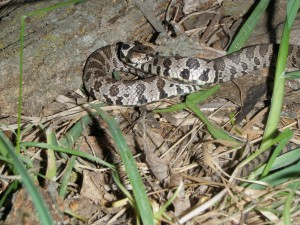 A snake, even though nonvenomous, often alarms people.
